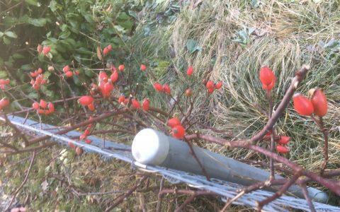 Das Rotschwänzchen frisst bei den Amseln